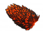 Whiting American Hen Saddle Black Laced - Orange